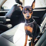dog on waterproof custom seat covers black leather chehol.org